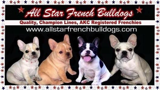 French Bulldog Puppies - French Bulldog Breeders - Champion