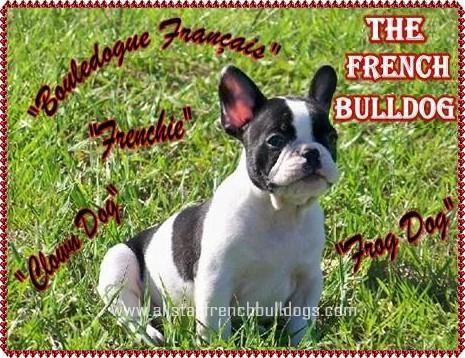 French Bulldog Information Questions About French Bulldogs