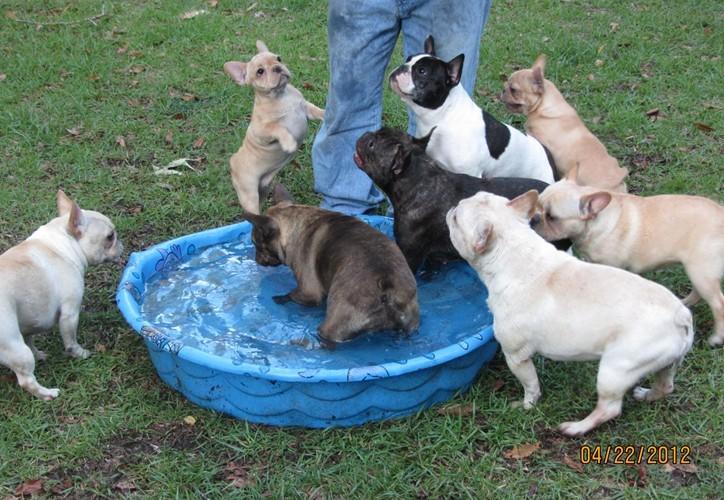 French Bulldog Puppies - French Bulldog Breeders ...