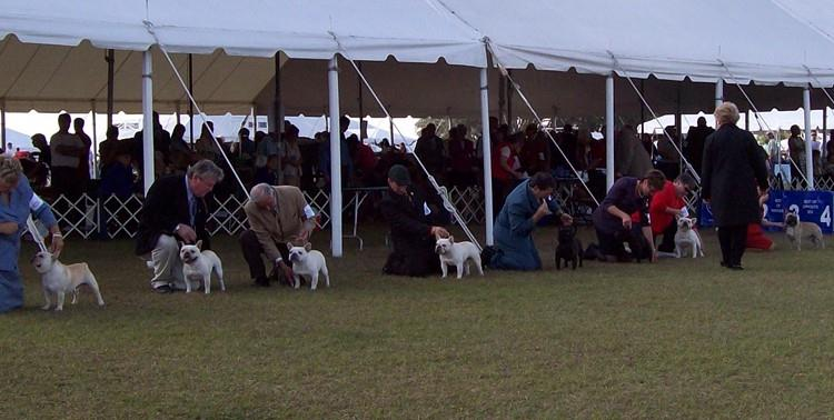 All About AKC Dog Shows - Showing French Bulldogs - French