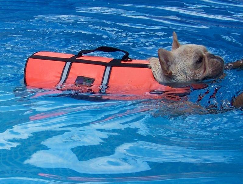 Can French Bulldogs Swim French Bulldogs In Water