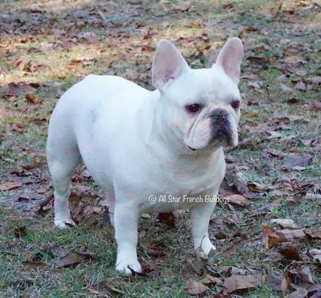 French Bulldog Puppies - French Bulldog Breeders - AKC