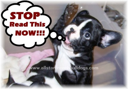 French Bulldog Purchasing Tips How To Avoid Getting Scammed When