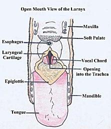 Dog Throat Diagram - Auto Electrical Wiring Diagram •